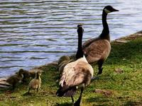 Baby_geese